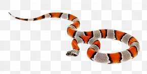 False Coral Snake - Coral Snake Reptile Milk Snake PNG