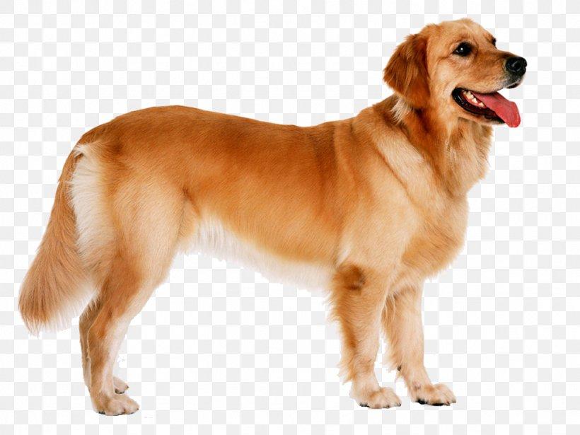Golden Retriever Puppy Labrador Retriever German Shepherd Goldendoodle Png 1024x768px Golden Retriever Ancient Dog Breeds Animal