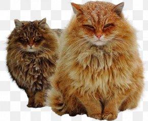 Norwegian Forest Cat - Norwegian Forest Cat Siberian Cat Kitten Cat Breed Felidae PNG