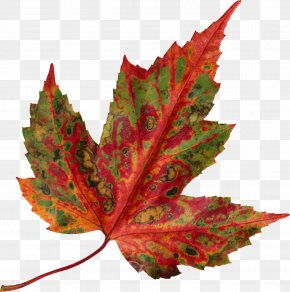 Autumn Leaves - Red Maple Autumn Leaf Color Maple Leaf PNG