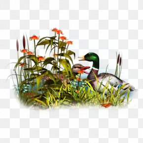 Duck - Duck Bird Clip Art PNG