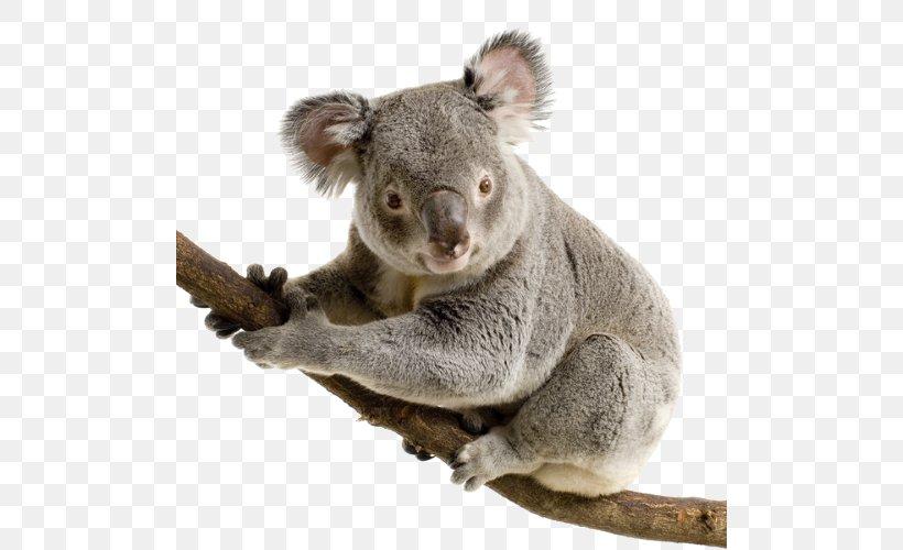 Koala, PNG, 500x500px, Koala, Animal, Australia, Baby Koalas, Cuteness Download Free