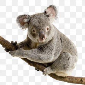 Koala PNG