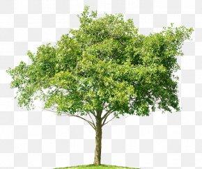 Spring Tree - Tree Mangifera Indica Mango Bonsai PNG