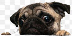 Pug - Puggle Shar Pei Coton De Tulear Maltese Dog PNG