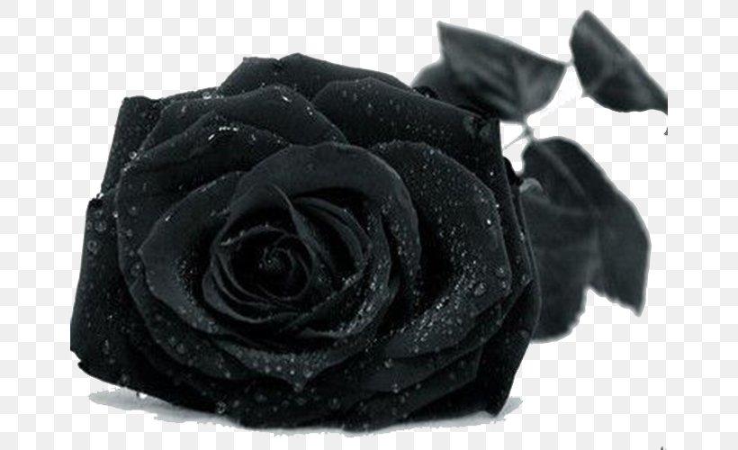 Black Rose Drop Wallpaper Png 664x500px Black Rose Black