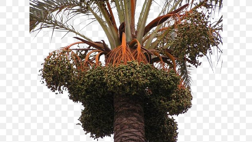 Date Palm Trachycarpus Fortunei Arecaceae Fruit Palm Oil, PNG, 628x462px, Date Palm, African Oil Palm, Arecaceae, Arecales, Auglis Download Free