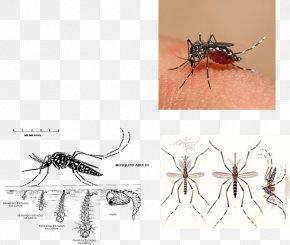 Vector - Yellow Fever Mosquito Dengue Fever Zika Virus Chikungunya Virus Infection Epidemiology PNG