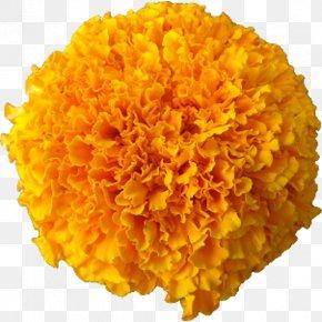 Marigold - Marigold Cut Flowers Afro Calendula Officinalis PNG