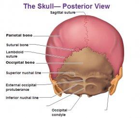 Image Of Skull - Human Body Skull Anatomy External Occipital Protuberance Human Back PNG