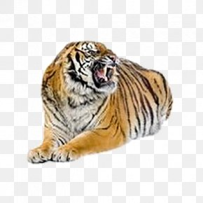 Tiger - Bengal Tiger Cat Felidae Stock Photography PNG
