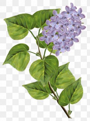 Lilac - Syringa Xd7 Persica Clip Art PNG