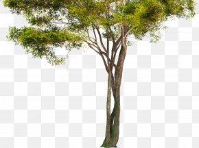 Fir-tree - Tree Branch Trunk PNG