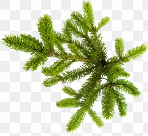 Fir-tree - New Year Tree Spruce Photography Clip Art PNG