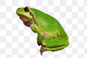 Frog - Tree Frog Amphibian Vertebrate Animal PNG