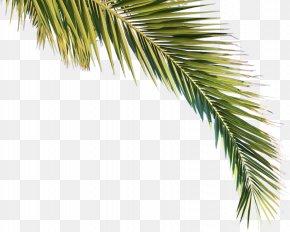 Palm - Arecaceae Asian Palmyra Palm Tree Pine Clima Subtropical PNG