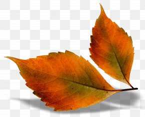 Beautiful Fall Leaves Picture - Autumn Leaf Color Autumn Leaves Chord Progression PNG