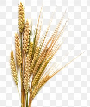 Barley Transparent Background - Beer Stout Common Wheat Cereal Clip Art PNG