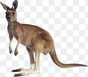 Kangaroo - Kangaroo Clip Art PNG