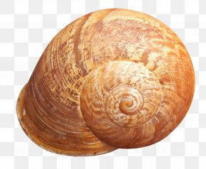 Shell - Seashell PNG