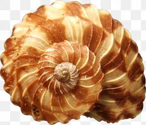 Seashell - Shore Seashell Mollusc Shell Snail PNG