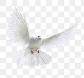 White Dove - Columbidae Domestic Pigeon Bird Flight PNG