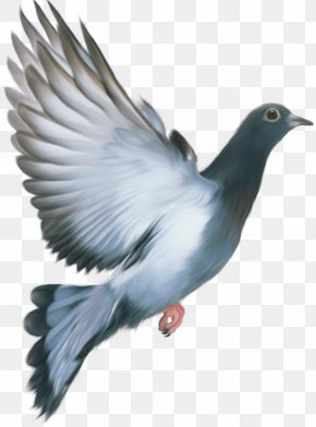 Pigeon Image - Columbidae Stock Dove Feather Wing Seabird PNG