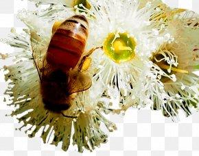 Bee Flowers - Honey Bee Jarrah Eucalyptus Honey PNG