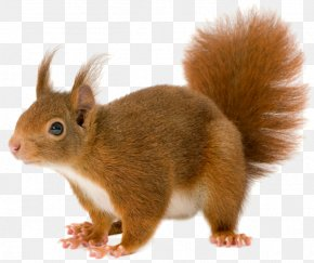 Squirrel - Red Squirrel PNG