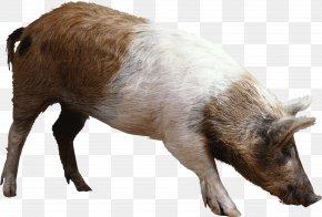 Pig Image - Domestic Pig Clip Art PNG