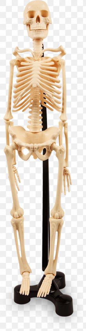 Human Bones - Human Skeleton Joint Anatomy Bone PNG