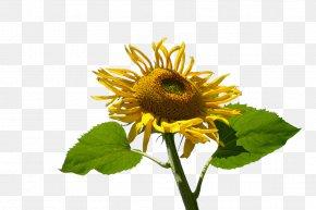 Sunflower Yellow Flowers - Common Sunflower Muko Yellow PNG