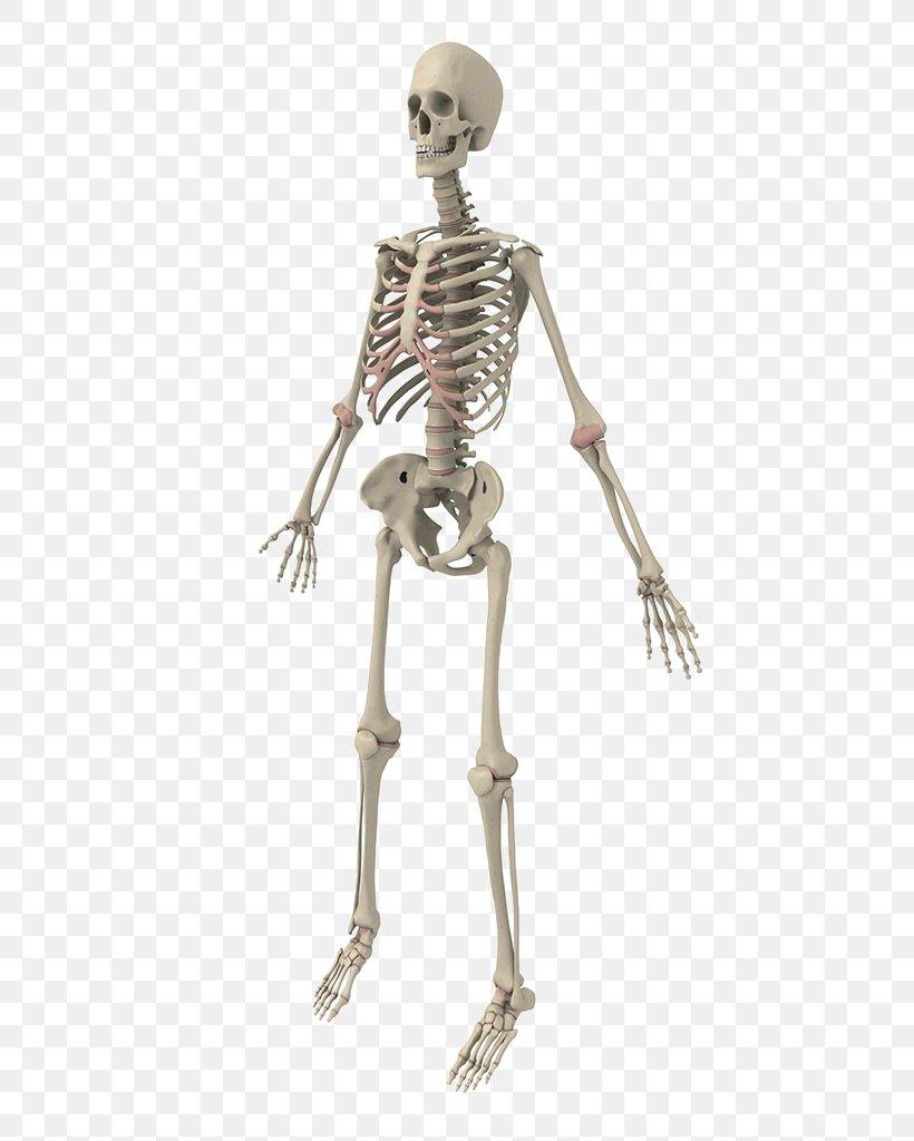 Human Skeleton Bone, PNG, 768x1024px, Human Skeleton, Bone, Figurine, Homo Sapiens, Joint Download Free