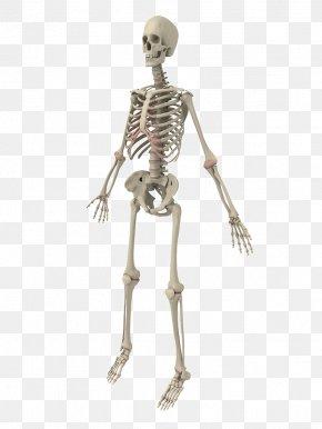 Human Skeleton - Human Skeleton Bone PNG