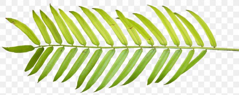Arecaceae Palm Branch Palm-leaf Manuscript Clip Art, PNG, 1566x624px, Arecaceae, Autumn Leaf Color, Free Content, Frond, Leaf Download Free