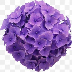 Flower - Floral Design Flower Purple French Hydrangea Clip Art PNG