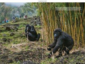 Gorilla - Virunga Mountains Volcanoes National Park Mountain Gorilla Western Lowland Gorilla Chimpanzee PNG