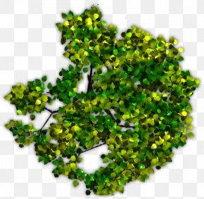 Tree Top View - Tree Plant Juglans Arecaceae PNG
