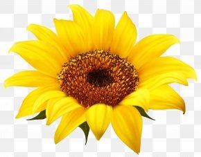 Sunflower Clipart Image - Common Sunflower Clip Art PNG