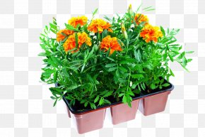 Chrysanthemum Potted Plants - Mexican Marigold Plastic Flowerpot Stock Photography PNG
