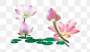 Lotus Flower Lotus Leaf - Nelumbo Nucifera Leaf Flower PNG