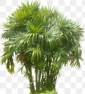 Flower Tropical - Rhapis Excelsa Arecaceae Tree Areca Palm PNG