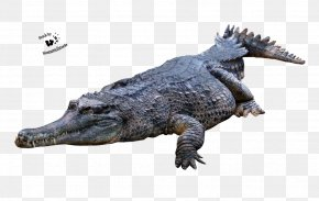 Crocodile Picture - Crocodiles American Alligator PNG