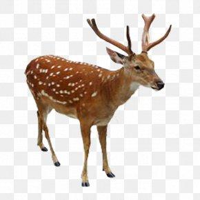 Deer - Reindeer Elk White-tailed Deer Sika Deer PNG