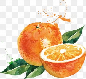 Orange Vector - Watercolor Painting Drawing Orange Illustration PNG