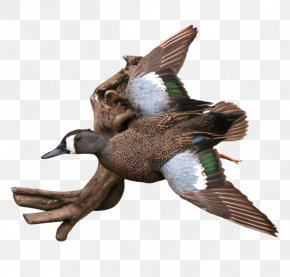 Duck - Mallard Duck Waterfowl Hunting Eurasian Teal PNG