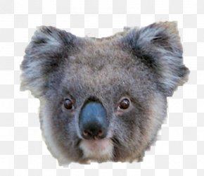 Koala - Koala American Black Bear Giant Panda PNG