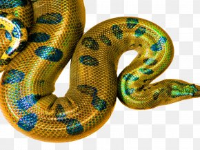 Affirmation HD Desktop Wallpaper 1440X900 - Boa Constrictor Snakes Rattlesnake Hognose Snake Desktop Wallpaper PNG