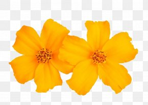 Marigold Pictures For Free Download - Mexican Marigold Tagetes Tenuifolia Flower Stock Photography Calendula Officinalis PNG