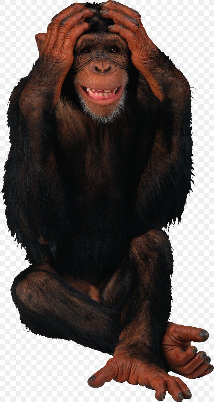 Birthday Monkey Giphy Gorilla, PNG, 1814x3411px, Birthday, Animation, Chimpanzee, Common Chimpanzee, Fur Download Free